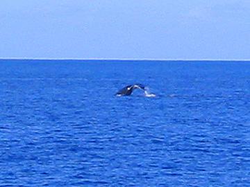 ザトウクジラ尻尾