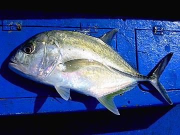 やっとそれらしい魚