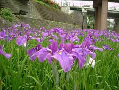 070601_花菖蒲祭り4