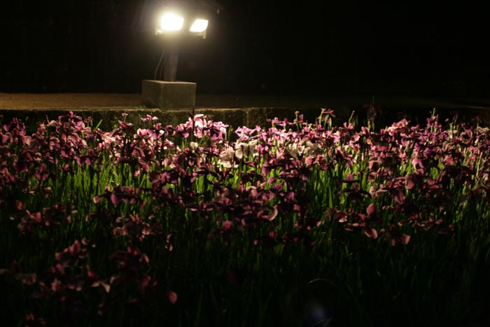 090605_花菖蒲祭り14