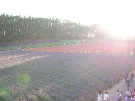 ラベンダー畑