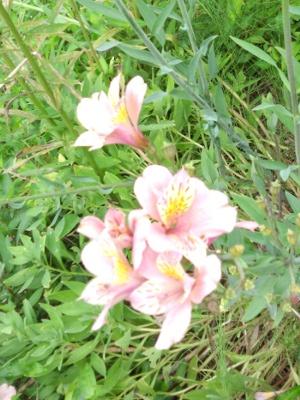 ゆり?の花