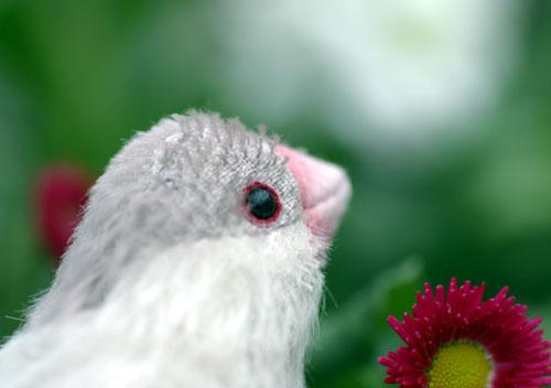 081127シルバー文鳥1