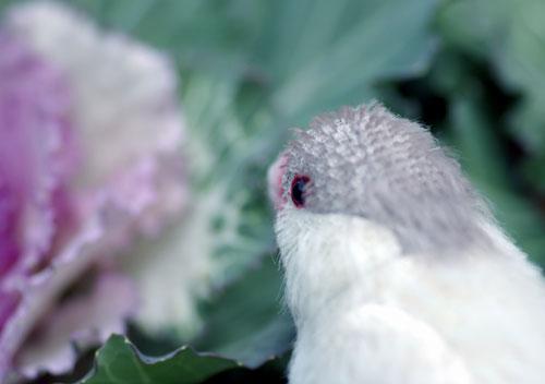 081127シルバー文鳥3