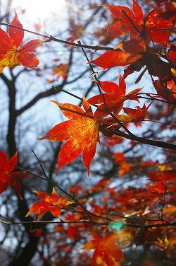 陽に透ける真っ赤な紅葉。