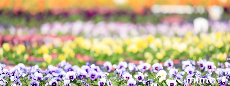 見元園芸 オリジナルビオラ 花苗 ガーデン 農場 解放フェア