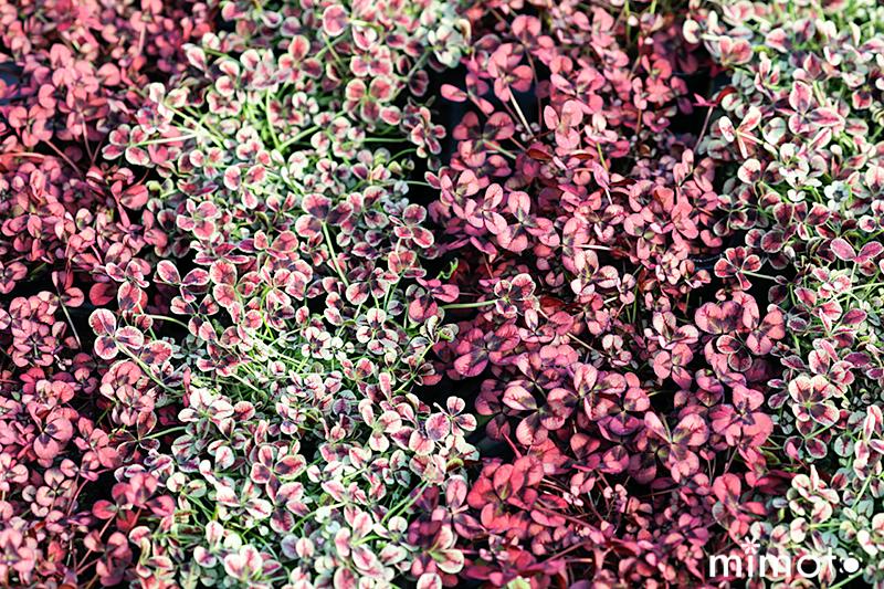 オリジナルクローバー 三つ葉クローバー 四つ葉クローバー 多葉クローバー 見元園芸