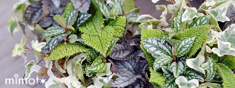 観葉植物 フィットニア ピレア