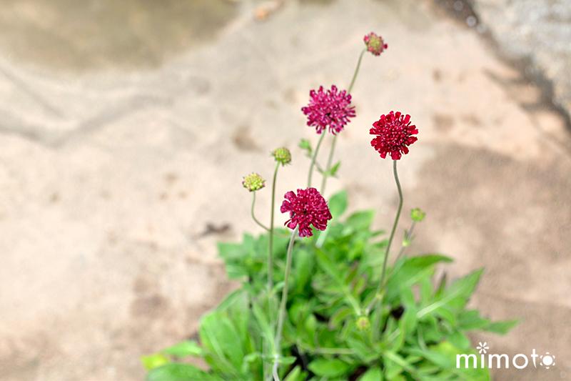 クナウティア・マケドニカ かすみ草 ジプシー プレクトランサス 時期の花苗 初夏の花苗