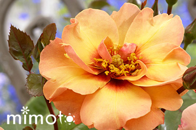 ラブリーローズ lovely roses アイローズ 薔薇 バラ 天然品種と園芸品種のハイブリット Eyes 愛バラ 愛ローズ アイラブユー EyeLoveYou アイウォントユー EyeWantYou