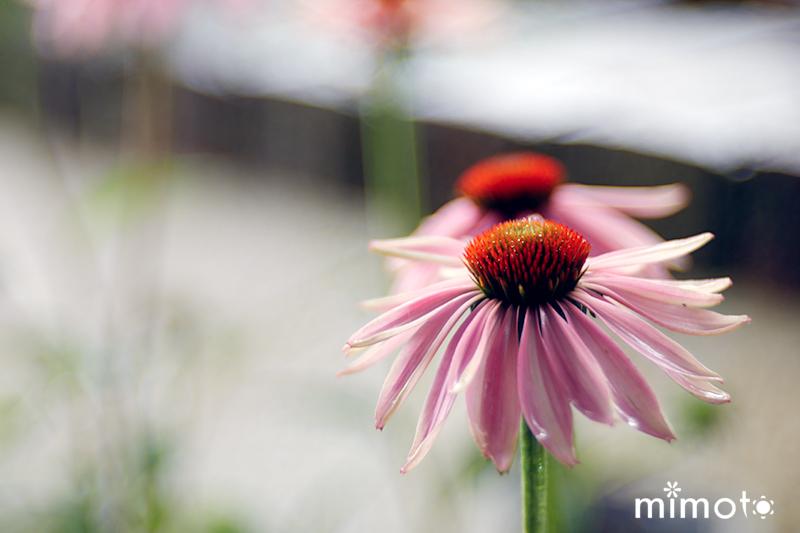 夏の寄せ植え 暑さに強い 夏向け 夏用 ペンタス ケイトウ 日々草 アゲラタム