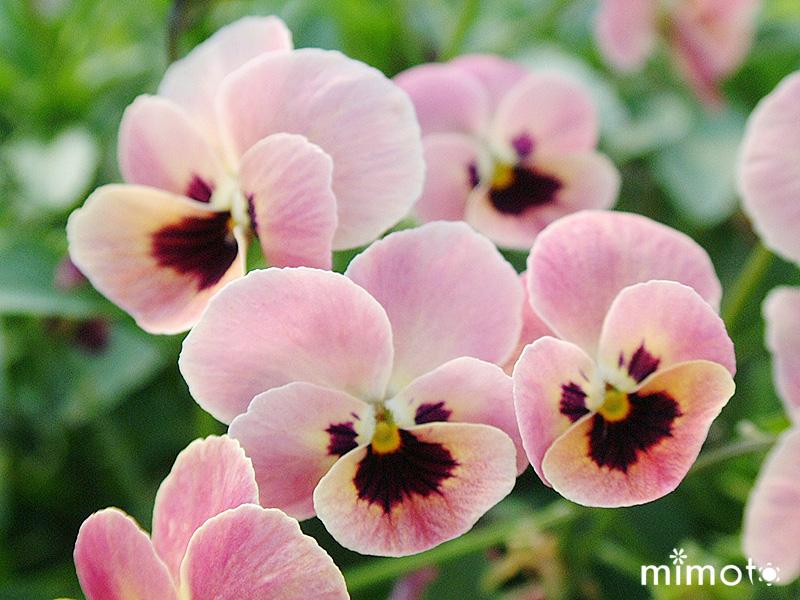 見元園芸 mimoto オリジナルビオラ オリジナルパンジー 種 種子 販売 通販