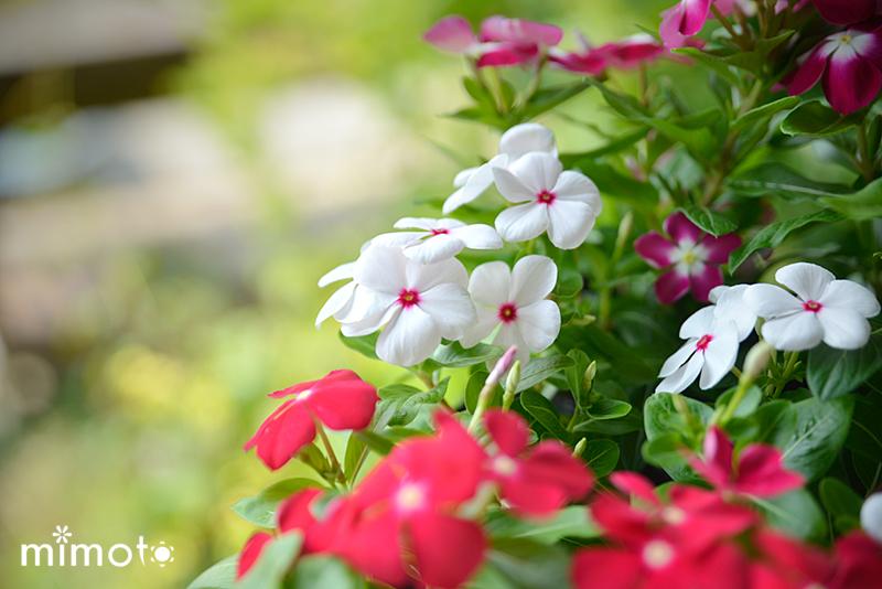 観賞用 唐辛子 とうがらし みもとうがらし 園芸 ガーデニング 寄せ植え 夏 日々草
