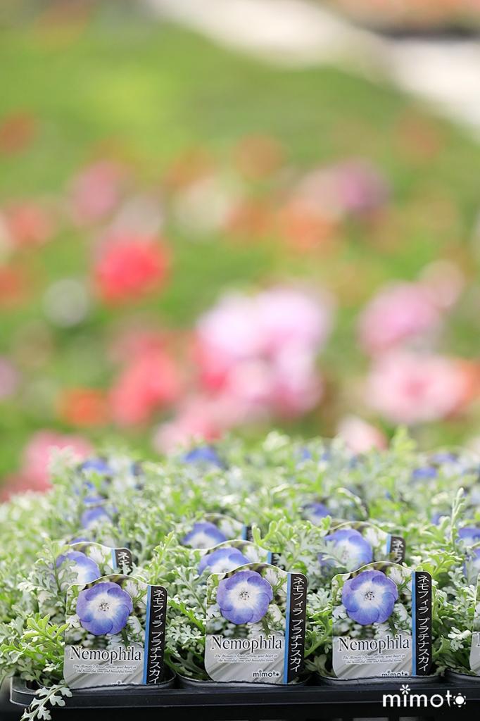 お花 フラワー オリジナル トレー販売 お得 クローバー ネモフィラ プラチナスカイ