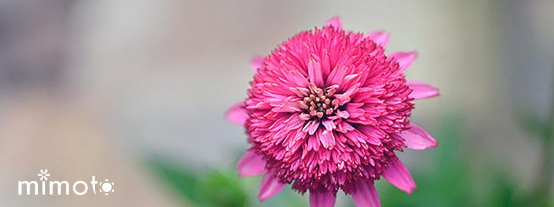 夏に咲く エキナセア 暑さに強い 長く咲く 見元園芸 新着情報 NEWS