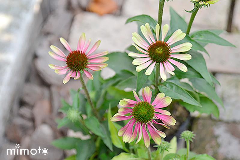 夏に咲く エキナセア 暑さに強い 長く咲く