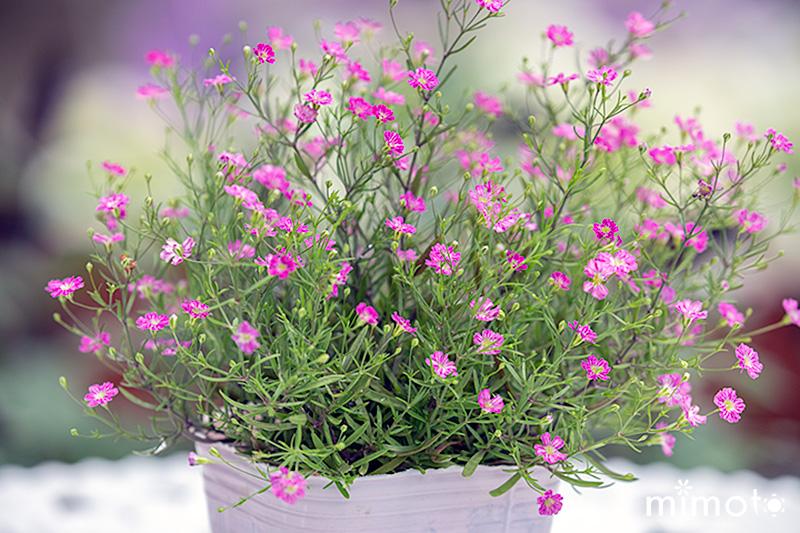 かすみ草 ジプシー ピンク 桃色