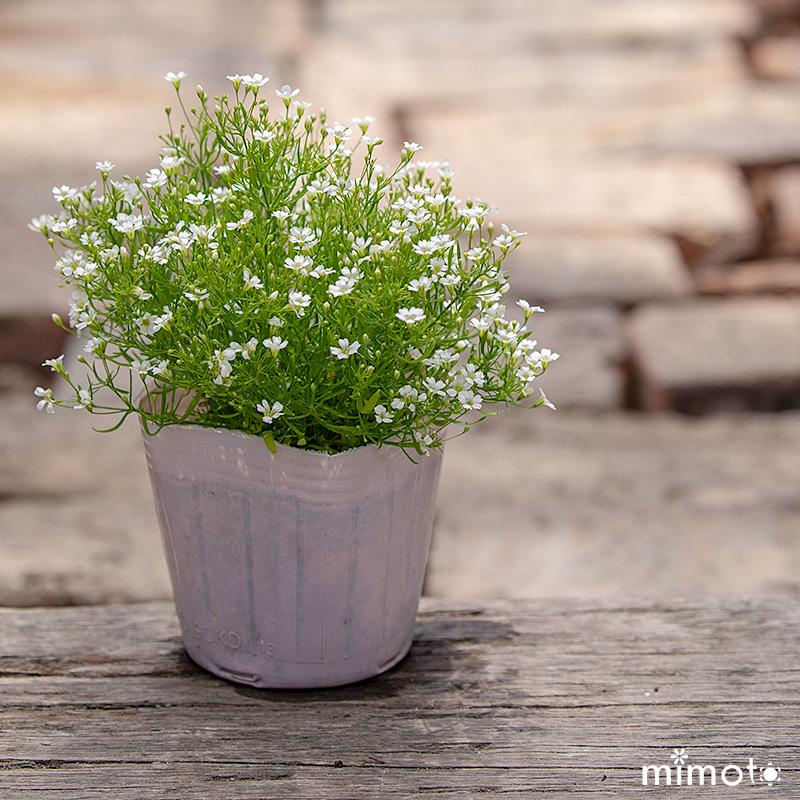 かすみ草 ジプシー 白色 ホワイト