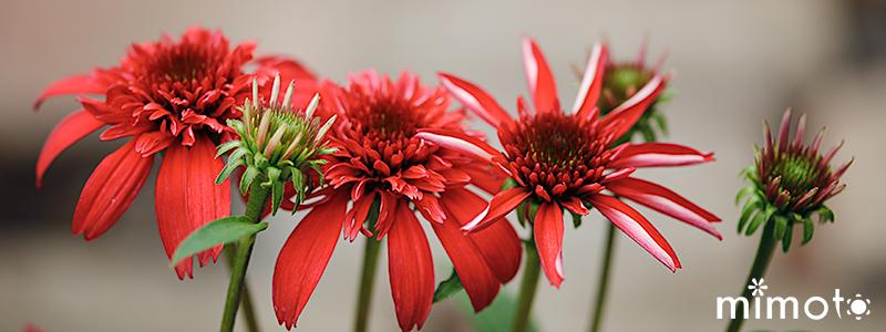 夏すみれ トレニア カタリーナ エキナセア ブラックベリートリュフ レモンドロップ 見元の花