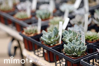見元園芸 オリジナルビオラ パンジー 種 種子 夏の寄せ植え 販売