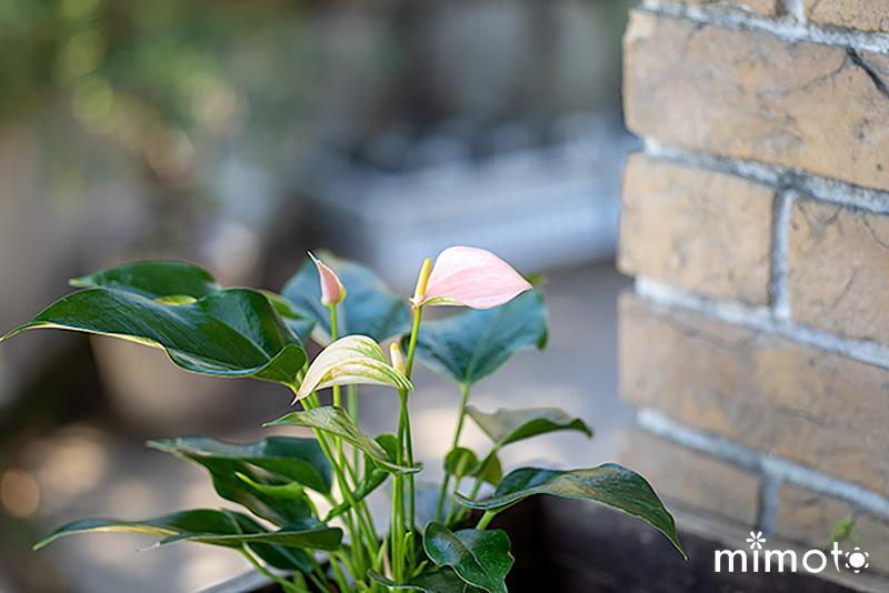 ガーベラ ガルビネア アンスリウム ジョリ ジョリピーチ ジズー プリンセスアマリア エレガンス 仏炎苞 室内向け植物