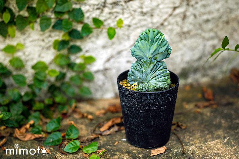希少種 レア種 多肉植物 サボテン セレウス テフロカクタス ユーフォルビア ミルチロカクタス スルコレブチア 販売