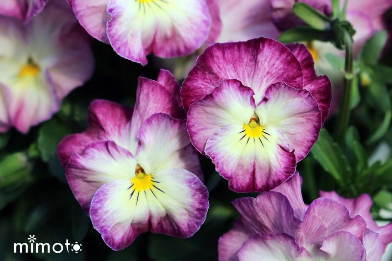 令和元年 オリジナルパンジー フリル型 フラワー お花