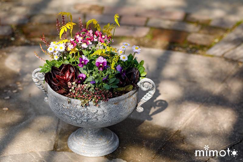 見元園芸 公式ブログ トミーの庭 お花の定期便 珍しいプリムラ マンゴー 藍染め 販売 通販 チコリ 寄せ植え