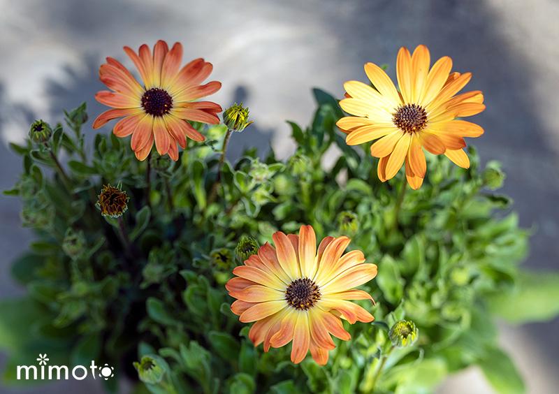 春 オステオスペルマム アキラサンセットシェード マーガレット バービー 見元園芸 販売通販 園芸 ガーデニング