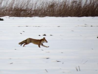 干拓地を走るキツネ