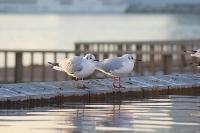 @晴海埠頭・名前は分からない鳥を望遠レンズで激写