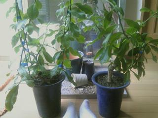 桜麒麟、サクラキリン、木の葉サボテン