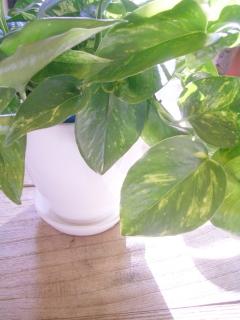 空気を浄化する観葉植物