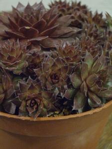 センペルヴィヴム 耐寒性多肉植物