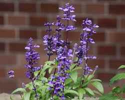 サルビア紫