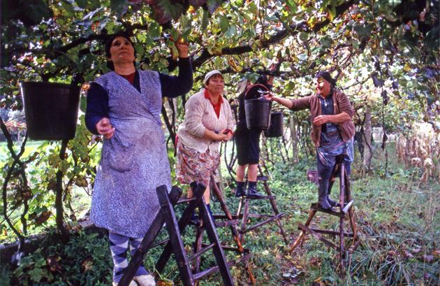 Grape harvest ブドウの収穫