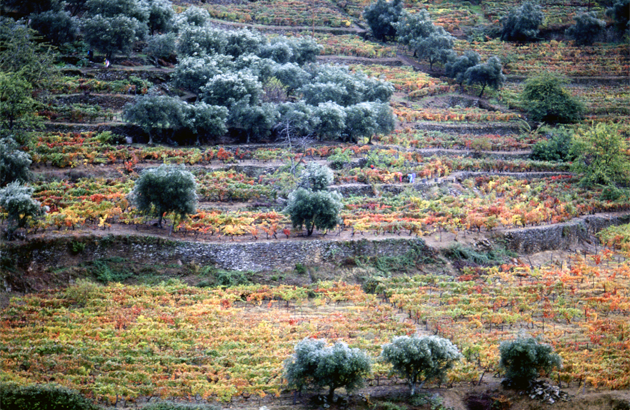 Vineyard & Oive tree Pinhao ブドウ畑&オリーブの木 ピニョン