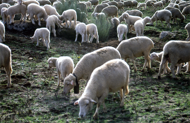 Sheep farming 牧羊