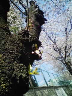 桜、咲く咲く