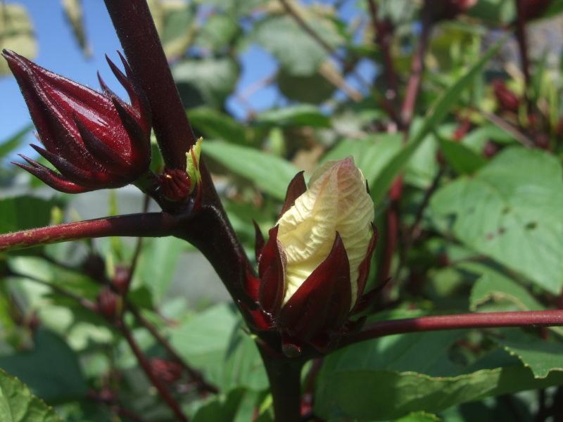 Hibiscus sabdariffa