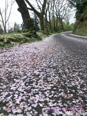 2015桜並木