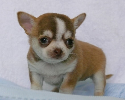 スムースチワワ 子犬