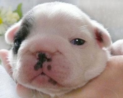 フレンチブルドック 子犬