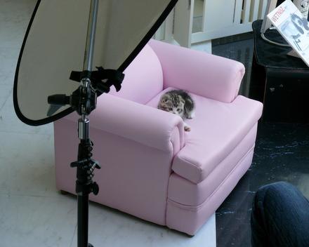 スコティッシュフォールド 子猫 写真撮影