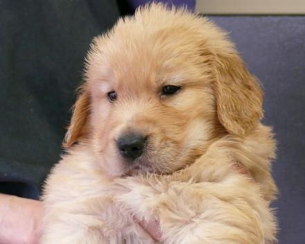 ゴールデンレトリバー 子犬