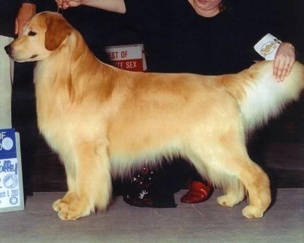 ゴールデンレトリバー チャンス 親犬