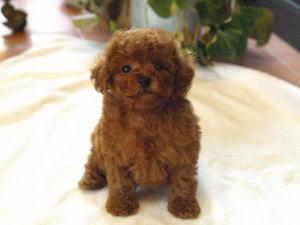 ティーカッププードル レッド 子犬