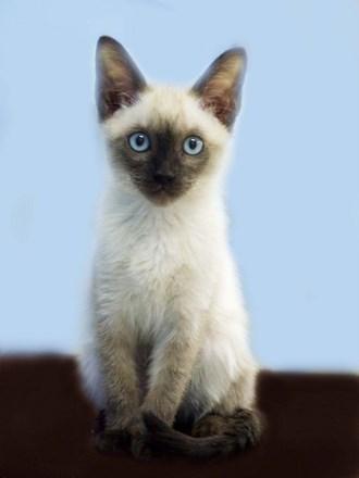 シャム 子猫