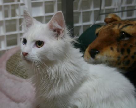 メインクーン 子猫 オッドアイ