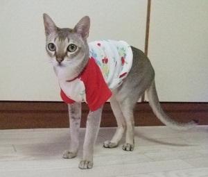 猫の洋服 シンガプーラ